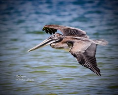 Pelican in flight. (Albatross Imagery) Tags: nikkor flight feathers followme follow flickrwildlife flickr instagram wings usa paradise birdsinflight floridawildlifephotography floridawildlife florida beautiful photographer photo photography nikonphotography nikonwildlife nikon naturephotography nature wildlifephotographer wildlifephotography wildlife bird birds pelicans pelican