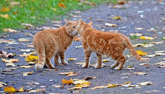 Nose-to-Nose.  🐈🐈  Meow... Meow... Autumn cats. Finland. (L.Lahtinen (nature photography)) Tags: autumn finland cats nature orange fall leaves autumncolors autumnleaves cuties cute adorable naturephotography animals nikond3200 nikkor55300mm kissat suomi syksy pretty foliage funny walk walking gingercats lovely