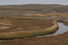 Le silence de la Hayden Valley (Samuel Raison) Tags: haydenvalley landscape paysage scenery bisons bison buffalo buffalos wildlife nature naturephotography nikkor nikon nikond800 nikon282470mmafsg yellowstone yellowstonenationalpark yellowstonewildlife