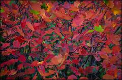 AUTUMN COLORS (ACER OPALUS) (TOYOGRACOR) Tags: plantas aplusphoto color flickrdiamond bej canon explore flickr dof mygearandme mygearandmepremium mygearandmebronze mygearandmesilver godlovesyou desenfoque flickrflorescloseupmacros otoño rojo rojos mywinners sol follaje planta hoja brillante serenidad textura fotos autumn hojas red luz rayosdesol colorrojo transparencia españa spain acuarela contraluz acer aceropalus arbol arbolrojo
