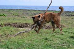 Stick Wrestling 2 (Bob Hawley) Tags: nikond7100 nikon2870mmf3545afd asia taiwan pingtung hengchunpeninsula jiupeng coast seaside grass dogs pets playing sticks formosanmountaindogs taiwantugou brown rocks