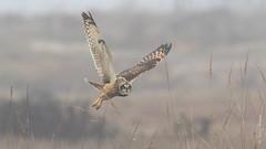 Short-eared Owl (Asio flammeus) (Tony Varela Photography) Tags: asioflammeus canon owl photographertonyvarela seow shortearedowl owlsofthepacificnorthwest