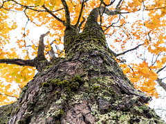 looking up (montrealmaggie) Tags: tree leaves fall bark moss october yellow