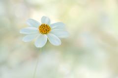 L'insoutenable légèreté de l'être (christophe.laigle) Tags: bokeh christophelaigle fleur macro painting nature flower fuji light blanche lumière xpro2 xf60mm white