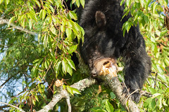 Black Bear with Quite a Mouthful! (Michael Allen Siebold (Getty Images Contributor)) Tags: animal bear blackbear greencolor nature outdoors townsend tennessee unitedstates