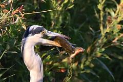 Heron - Pike - Perch (legoman1691) Tags: nature wildlife bird wildbird fish catch different unique