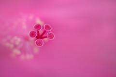 five (christophe.laigle) Tags: rose christophelaigle fleur macro nature flower fuji hibiscus pink five xpro2 xf60mm cinq