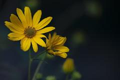 Anglų lietuvių žodynas. Žodis jerusalem artichoke sunflower reiškia bulvinių saulėgrąžų saulėgrąžų lietuviškai.