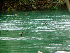 Αχεροντας ποταμος DSC06495 (omirou56) Tags: 43ratio sonydschx60v αχεροντασποταμοσ χελιδονια νερο ηπειροσ ελλαδα river greece water birds πουλια