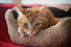 Spritz (En memoria de Zarpazos, mi valiente y mimoso tigre) Tags: ginger gingercat gato gatopelirrojo gatoatigradonaranja gattoarancione gattorosso micio miciorosso chatroux orangekitten orangetabby orangecat