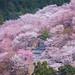 Mt Yoshino Sakura - Nara, Japan