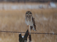 short eared owl (brian eagar - very busy - not much time to comment) Tags: owl shortearedowl bird wild wildlife nature animal utah utahwildlife utahbird utahnature