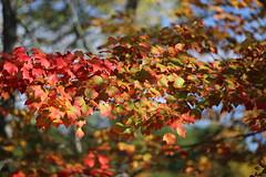 IMG_8908 - Autumn Leaves (Bob90901) Tags: autumn leaves raymond maine light morning fallcolor foliage sooc rpg90901 fallfoliage canon 6d canonef70200mmf28lisiiusm canon70200f28lll 2018 october 1000