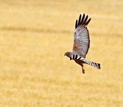 a2U7A3890_sml (ozenigma61) Tags: spottedharrier harrier raptor birdinflight