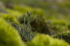 _IGP6332 (andrzejreschke) Tags: insects reptiles plants grass nature butterfly lizard moss flowers beauty beautyofnature