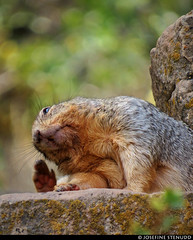 20160825_09 Rock squirrel (Otospermophilus variegatus) seen on Bright Angel Trail in Grand Canyon, Arizona (ratexla) Tags: nonhumananimals ratexlasgreentortoisetrip2016 ratexlascanyonsofthewesttrip2016 greentortoise canyonsofthewest 25aug2016 2016 canonpowershotsx50hs brightangeltrail grandcanyon arizona usa theus unitedstates theunitedstates america northamerica nordamerika earth tellus photophotospicturepicturesimageimagesfotofotonbildbilder wanderlust travel travelling traveling journey vacation holiday semester resaresor roadtrip ontheroad sommar summer beautiful nature landscape scenery scenic desert sandstone hiking hike wildlife animal animals nonhumananimal cute cool biology zoology djur wild vild vilda life organism bokeh rocksquirrel otospermophilusvariegatus