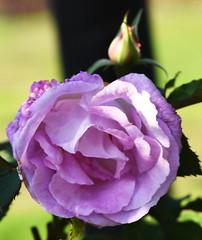 DSC_2012 (PeaTJay) Tags: nikond750 sigma reading lowerearley berkshire macro micro closeups gardens outdoors nature flora fauna plants flowers rose roses rosebuds