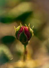Rosa 'This Scepter'd Isle' (Clouds of Juniper Photography) Tags: