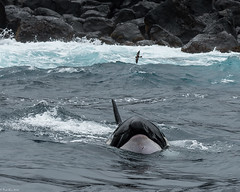Orca [Orcinus orca] makes an appearance (Fred Roe) Tags: nikond810 nikkorafs80400mmf4556ged nature wildlife whale orca mammal galapagos