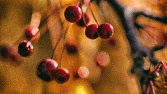 impressionist berries 3 - the pointillist version (Francis Mansell) Tags: fruit berry crabapple blur bokeh kewgardens kew royalbotanicgardenskew grainy macro pointillist abstract nikanalogefexpro2 plant