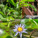 Lotus Flower Bokeh with Royal Palace Museum in the Background in Phnom Penh
