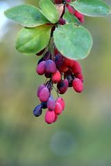Berberitze, Amur- / Amur barberry (Berberis amurensis) (HEN-Magonza) Tags: botanischergartenmainz mainzbotanicalgardens herbst autumn rheinlandpfalz rhinelandpalatinate deutschland germany flora berberitze amurberberitze amurbarberry berberisamurensis