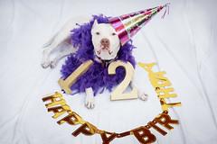 Paloma 12th Bday 3 (lauripiper) Tags: americanstaffordshireterrier pitbull 50mm palomatheprettypittie dog senior elderbull nikon d810 pet hat birthday 2018 purple featherboa boa