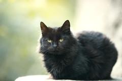 Black cat (Marc Andreu) Tags: chat cat animal outdoor eyes yeux yellow green jaune look vert velue bokeh hairy nature noir blacl mignon regard patte kitten chaton animaldecompagnie marcandreu extérieur félin mammifère