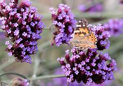 Tortoiseshell Butterfly (Ken Meegan) Tags: tortoiseshellbutterfl loftushallgarden hookpeninsula cowexford ireland hookhead loftushall garden butterfly flower 1692018