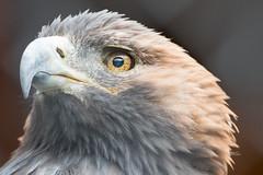 Golden Eagle (Gene Mordaunt) Tags: goldeneagle bird raptor wildlife mountsbergraptorcentre eagle