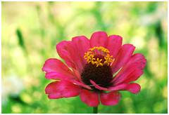 DSC_4475 (FMAG) Tags: 201809 dzialka kwiatki macro