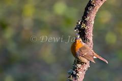 20180924 Forest Farm - 1 (Dewi James) Tags: forestfarm wales birds bird robin cardiff