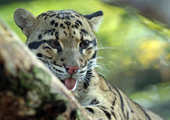 clouded leopard Duisburg 094A0956 (j.a.kok) Tags: leopard cloudedleopard luipaard panter panther nevelpanter neofelisnebulosa asia azie kat cat zoogdier dier mammal predator duisburg