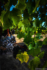 Sun on the Grapes (tom911r7) Tags: napavalley vineyard napa tom911r7 grapes winery vines wine tom brichta winecountry tombrichtaworkshops tombrichta leica leicaq leicacamera