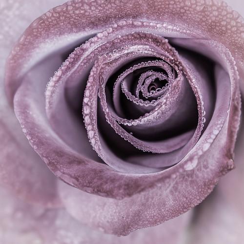 Dewed Rose