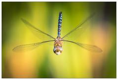 Head on (stephen.darlington) Tags: bushypark hamptoncourt kingston royalpark sssi surrey teddington aeshnamixta anisoptera dragonfly migranthawker odonata