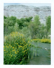 Verde, Viguiera and lacustrine formations (EllenJo) Tags: lowertapcorap clarkdaleaz arizona verderiver october1 2018 ellenjo autumn riparian wildflowers polaroid landcamera pathfinder fujiinstantfilm polaroidpathfinder fujifp100c viguiera goldeneye yellowwildflower bloom flower yellow golden clarkdalearizona verdevalley river riveraccesspark az autumninaz