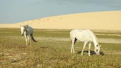 Jericoacoara (sileneandrade10) Tags: sileneandrade jericoacoara animal freeanimal duna parquenacionaldejericoacoara cavalo nikoncoolpixp900 nikon pangaré