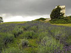 DSCF2084 (agnieszka.lublin) Tags: storm clouds sky skyline landscape sadness melancholy lavender field grass scent flowers
