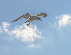 """Seagull Soaring High Above Thru Clouds in Blue Sky (nrhodesphotos(the_eye_of_the_moment)) Tags: dsc064043001084 """"theeyeofthemoment21gmailcom"""" """"wwwflickrcomphotostheeyeofthemoment"""" seagulls erne clouds bluesky soaring nyc new york harbor outdoors nature"""