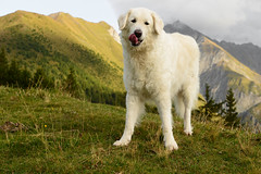 Mhmmm! (balu51) Tags: abendspaziergang landschaft berge wiese gras wolken grau herbst hund kuvasz ungarischerhirtenhund evening eveningstroll dog landscape mountain meadow grass clouds grey green white autumn graubünden surselva september 2018 copyrightbybalu51