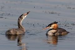 "Great crested grebe ""podiceps cristatus"" (michael.jh) Tags: greatcrestedgrebe podicepscristatus juvenile sigma500mmf4 birds bird nature michaeljh canoneos7dmark11"