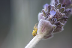 Little Yellow Spider (Amy Maher) Tags: yellow green lavender flower tiny spider macro close up