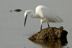Little Egret-7D2_9809-001 (cherrytree54) Tags: rye harbour sussex canon sigma 150600 7d