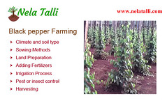 Black Pepper Farming - Nelatalli (roopasree1379) Tags: black pepper farming spices cultivation