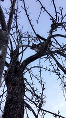 Peek-A-Boo (TangerinesDreamFinds) Tags: cat kitten blue tabby tiger pear tree