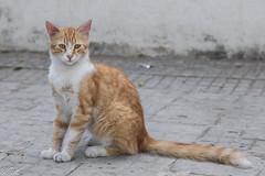 2018/07/07 11h03 chat, rue de Tunis (Rabat) 01 (Valéry Hugotte) Tags: 24105 maroc rabat canon canon5d canon5dmarkiv cat chat gatos katze quartierhassan ruedetunis rabatsalékénitra ma