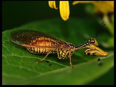 Peygamber devesi (listera_ovata) Tags: insect bug böcek prayingmantis peygamberdevesi makro macro macrophotography olympusomdem5 canonef100mm28macro faunaofanatolia fauna closeup