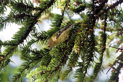 a Goldcrest searching for food (zoom in please) (Franck Zumella) Tags: bird small oiseau petit smallest goldcrest roitelet huppe huppé kinglet animal nature tree arbre wildlife green yellow sauvage vie vert jaune sony a7s a7 tamron 150600