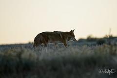 Coyote Prowls Ridge After Sunset (dcstep) Tags: cherrycreekstatepark colorado usa sonya9 fe100400mmf4556gmoss nature urban urbannature allrightsreserved copyright2018davidcstephens dxophotolab dsc2176dxo coyote westerncoyote prowling ridge
